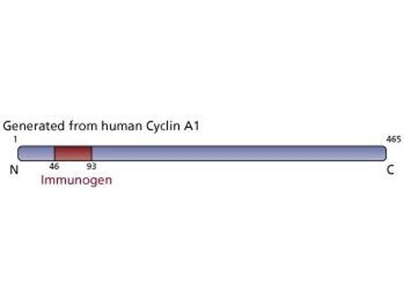 Image no. 2 for anti-Cyclin A1 antibody (CCNA1) (AA 46-93) (ABIN967557)