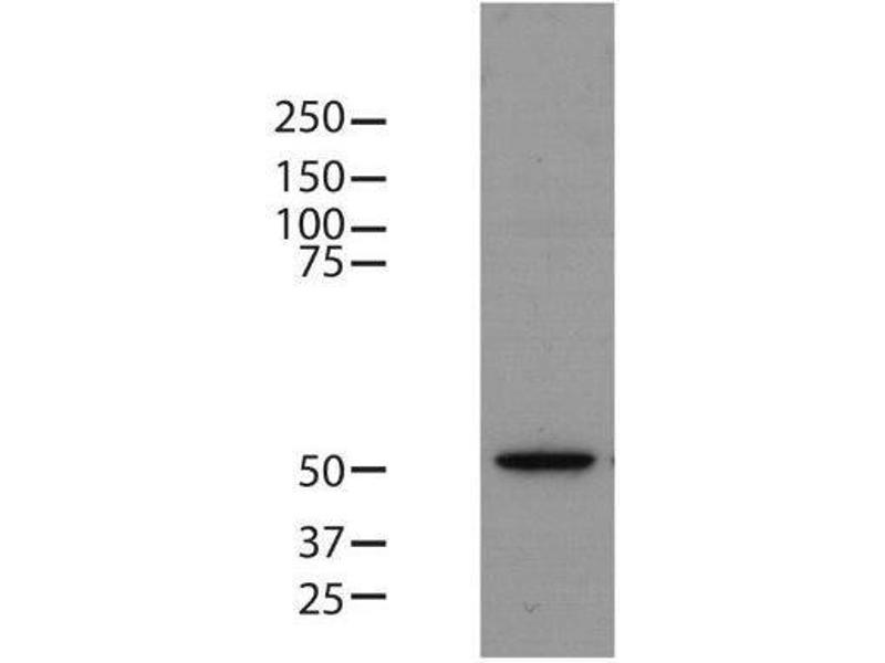 Western Blotting (WB) image for anti-TUBB antibody (Tubulin, beta) (N-Term) (ABIN4284184)