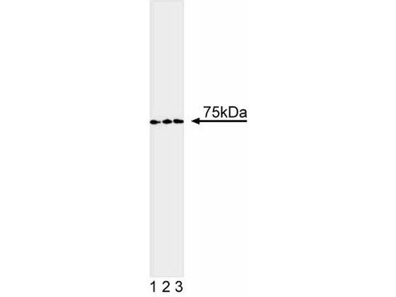 Western Blotting (WB) image for anti-TCF3 antibody (Transcription Factor 3 (E2A Immunoglobulin Enhancer Binding Factors E12/E47)) (ABIN967433)