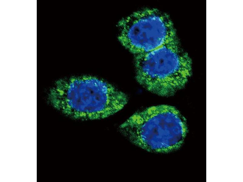 Immunofluorescence (IF) image for anti-FGFR2 antibody (Fibroblast Growth Factor Receptor 2) (N-Term) (ABIN2439769)
