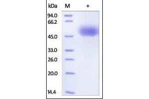 SDS-PAGE (SDS) image for SIRP alpha (AA 31-370) (Active) protein (Strep Tag,His tag) (ABIN2180706)