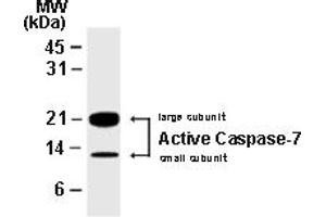 image for anti-Caspase 7, Apoptosis-Related Cysteine Peptidase (CASP7) antibody (ABIN957190)