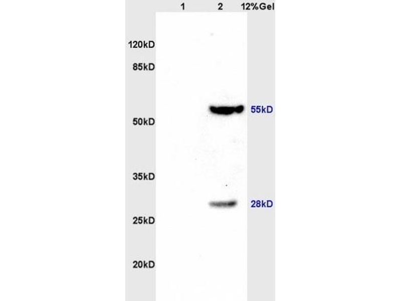 SDS-PAGE (SDS) image for anti-Thioredoxin Reductase 1 (TXNRD1) (AA 440-490) antibody (ABIN1386102)