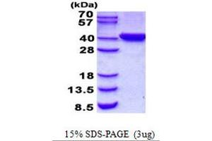 Image no. 1 for Chromosome 2 Open Reading Frame 60 (C2orf60) protein (His tag) (ABIN1098482)