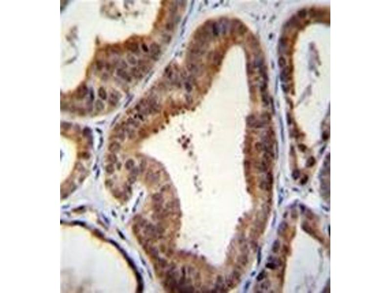 Image no. 1 for anti-SHQ1 Homolog (S. Cerevisiae) (SHQ1) (AA 65-94), (N-Term) antibody (ABIN954800)