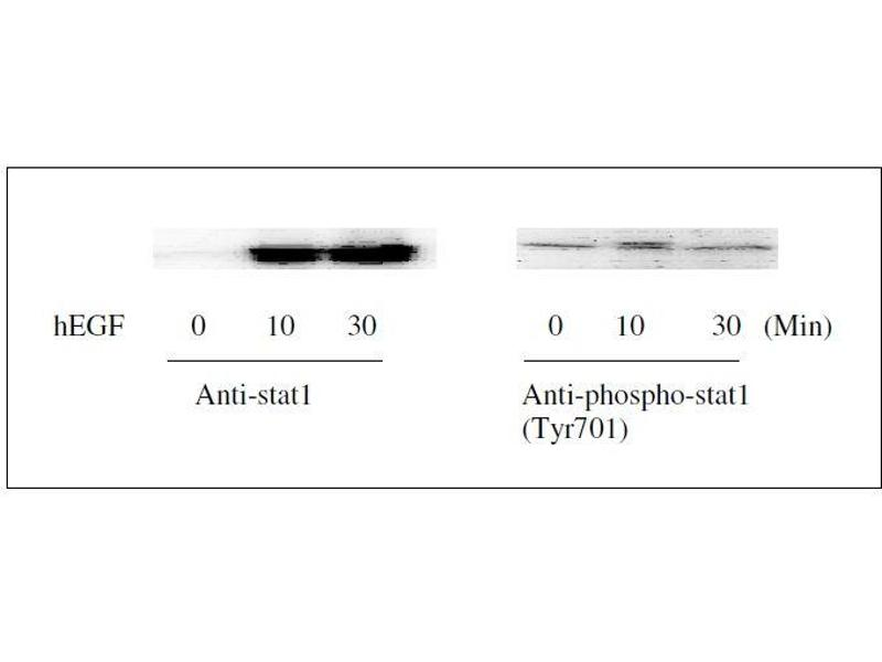 Western Blotting (WB) image for STAT1 ELISA Kit (Signal Transducer and Activator of Transcription 1, 91kDa) (ABIN1981837)