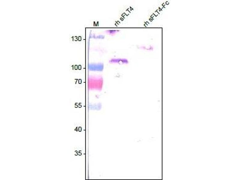Western Blotting (WB) image for anti-FLT4 antibody (Fms-Related Tyrosine Kinase 4) (Extracellular Domain) (ABIN567981)