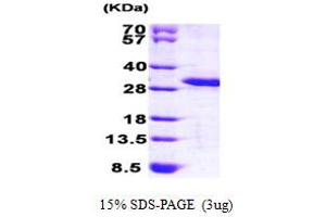 Image no. 1 for MOB1, Mps One Binder Kinase Activator-Like 3 (Yeast) (MOBKL3) (AA 1-225) protein (His tag) (ABIN667852)