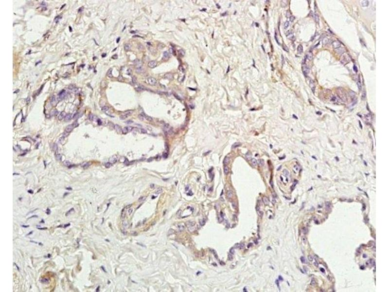 Immunohistochemistry (Paraffin-embedded Sections) (IHC (p)) image for anti-Aquaporin 5 (AQP5) (AA 227-265) antibody (ABIN731258)