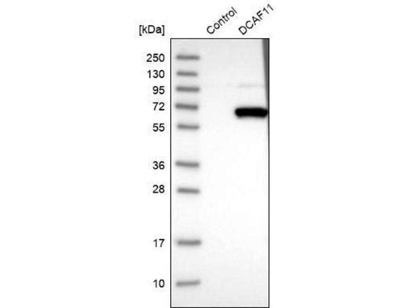 Western Blotting (WB) image for anti-DDB1 and CUL4 Associated Factor 11 (DCAF11) antibody (ABIN4304464)