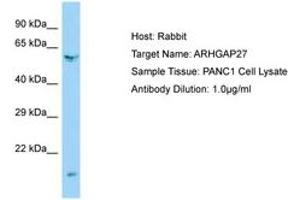 Image no. 1 for anti-rho GTPase Activating Protein 27 (ARHGAP27) (AA 160-209) antibody (ABIN6750155)