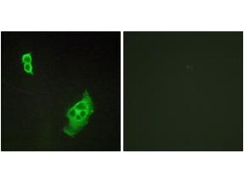 Immunofluorescence (IF) image for anti-WAS Protein Family, Member 1 (WASF1) (AA 91-140) antibody (ABIN1532430)