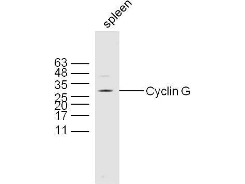 Western Blotting (WB) image for anti-Cyclin G1 antibody (CCNG1) (AA 250-295) (ABIN685837)