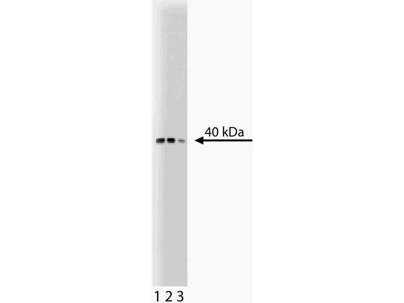 Western Blotting (WB) image for anti-Budding Uninhibited By Benzimidazoles 3 Homolog (Yeast) (BUB3) (AA 4-16) antibody (ABIN968648)
