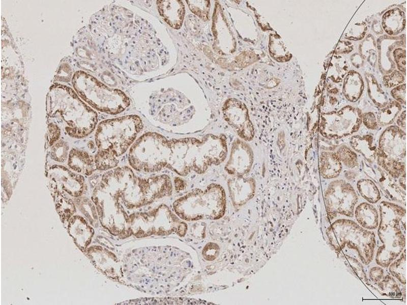 Immunohistochemistry (IHC) image for anti-Aquaporin 2 (Collecting Duct) (AQP2) (AA 177-202) antibody (ABIN707576)