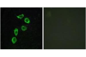 Image no. 1 for anti-G Protein-Coupled Receptor 123 (GPR123) (AA 201-250) antibody (ABIN1535703)