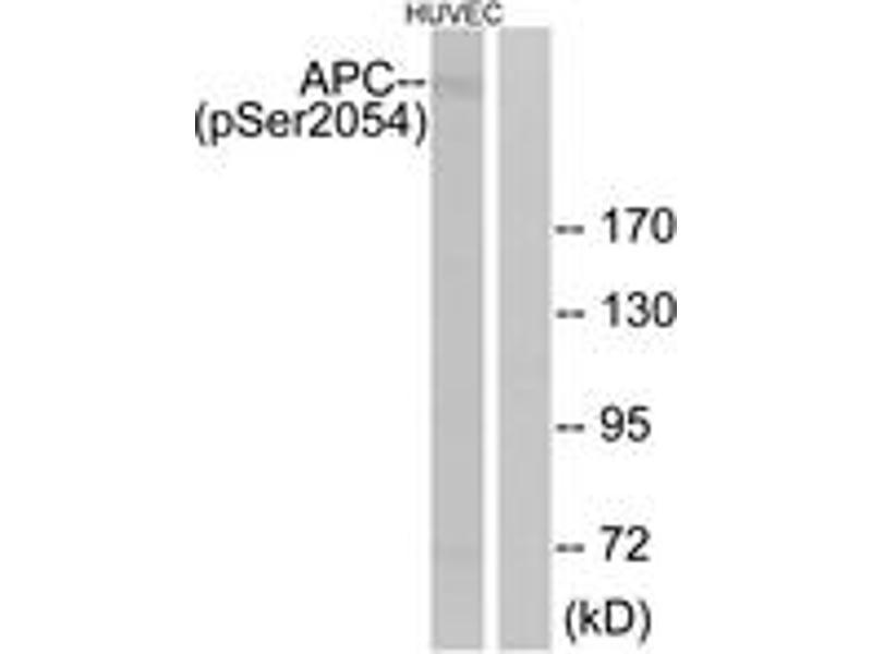 Western Blotting (WB) image for anti-Adenomatous Polyposis Coli (APC) (AA 2020-2069), (pSer2054) antibody (ABIN1531521)