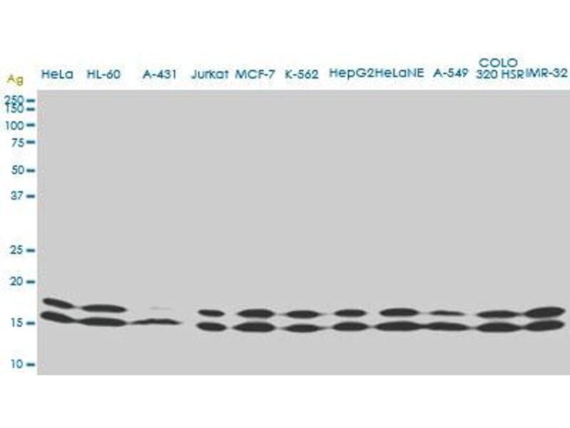 Western Blotting (WB) image for anti-Non-Metastatic Cells 1, Protein (NM23A) Expressed in (NME1) (AA 43-153) antibody (ABIN393497)