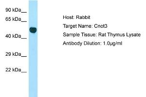 Image no. 1 for anti-CCR4-NOT Transcription Complex, Subunit 3 (CNOT3) (Middle Region) antibody (ABIN2775723)