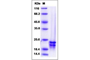 Image no. 1 for Fibroblast Growth Factor 17 (FGF17) (AA 23-216), (Mature) (Active) protein (ABIN2005178)