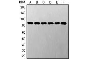 Western Blotting (WB) image for anti-Signal Transducer and Activator of Transcription 3 (Acute-Phase Response Factor) (STAT3) (C-Term) antibody (ABIN2705260)