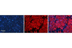 Image no. 3 for anti-Carbonyl Reductase 1 (CBR1) (Middle Region) antibody (ABIN2782364)