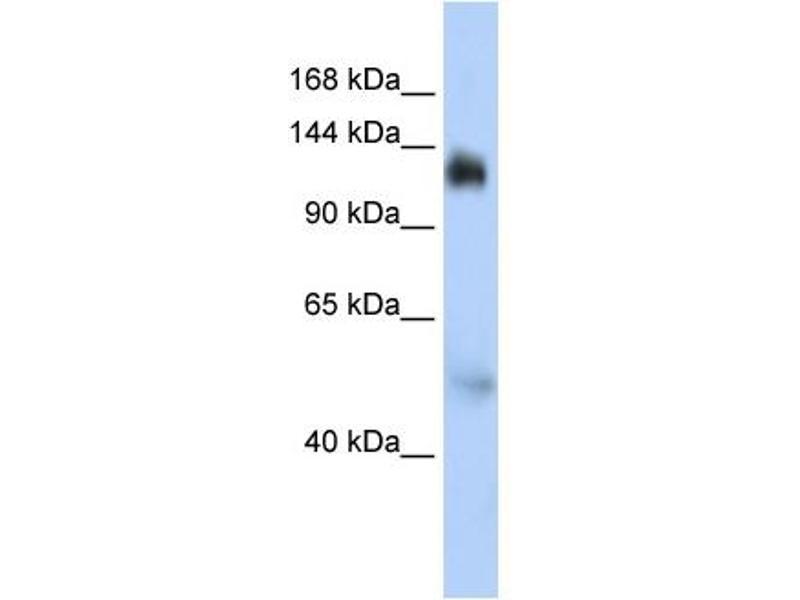 Western Blotting (WB) image for anti-Nuclear Transcription Factor, X-Box Binding 1 (NFX1) (Middle Region) antibody (ABIN406763)