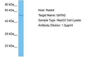 Image no. 1 for anti-GATA Binding Protein 2 (GATA2) (N-Term) antibody (ABIN2777458)