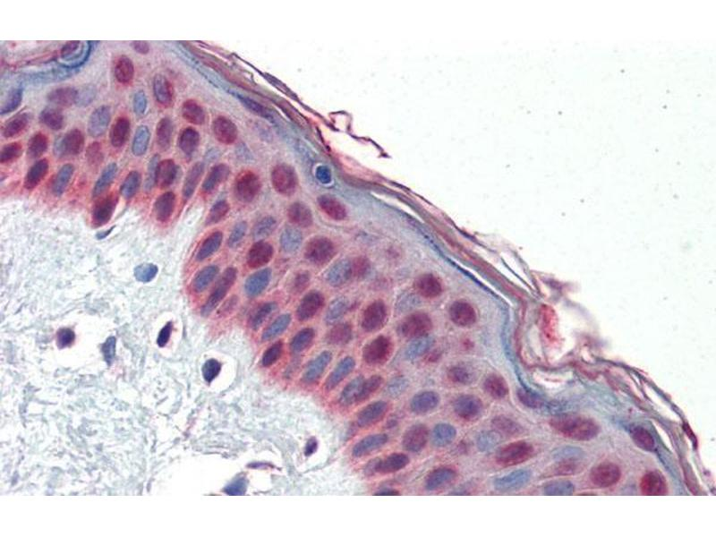 Immunohistochemistry (IHC) image for anti-TCF7L1 antibody (Transcription Factor 7-Like 1 (T-Cell Specific, HMG-Box)) (N-Term) (ABIN1109209)