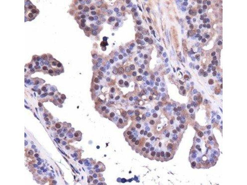 Immunohistochemistry (IHC) image for anti-Aryl Hydrocarbon Receptor (AHR) (C-Term) antibody (ABIN250676)
