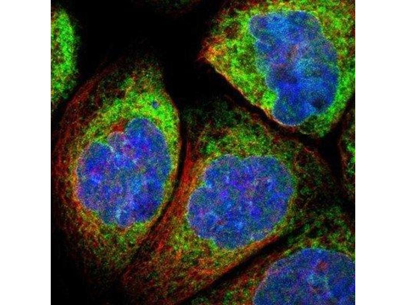 Immunofluorescence (IF) image for anti-Metadherin (MTDH) antibody (ABIN4332035)