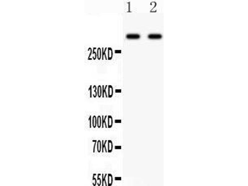 Western Blotting (WB) image for anti-Versican (Vcan) (AA 65-92), (N-Term) antibody (ABIN3043957)