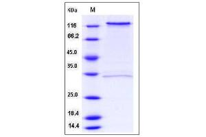 Image no. 1 for CD93 (CD93) (AA 1-580), (Extracellular Domain) protein (Fc Tag) (ABIN2005278)