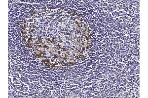 Image no. 2 for anti-Programmed Cell Death 1 (PDCD1) (AA 1-167) antibody (ABIN2649215)