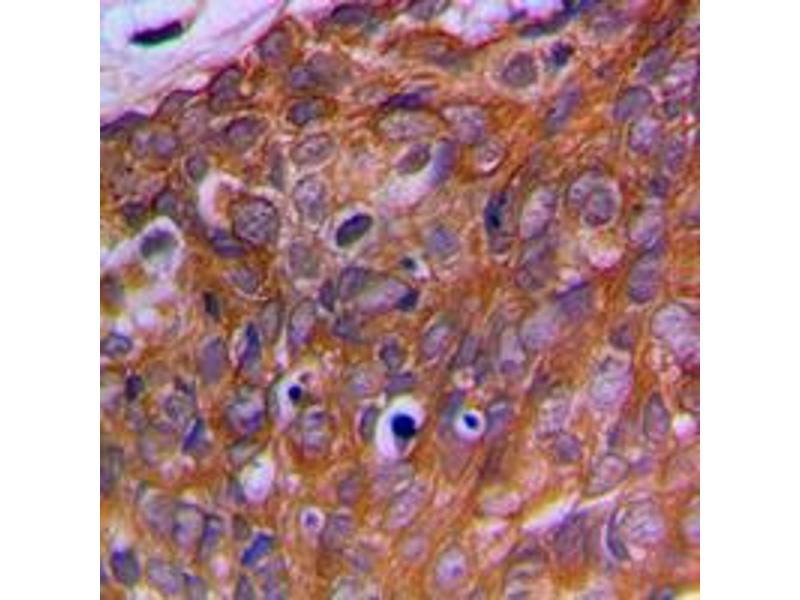 Immunohistochemistry (IHC) image for anti-Ornithine Decarboxylase Antizyme 1 (OAZ1) (N-Term) antibody (ABIN2707668)