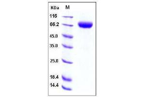 Image no. 1 for CD244 Molecule, Natural Killer Cell Receptor 2B4 (CD244) (AA 1-221), (Extracellular Domain) (Active) protein (Fc Tag) (ABIN2001951)