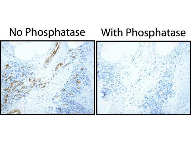 image for anti-Caveolin 2 antibody (CAV2) (pTyr27) (ABIN967595)