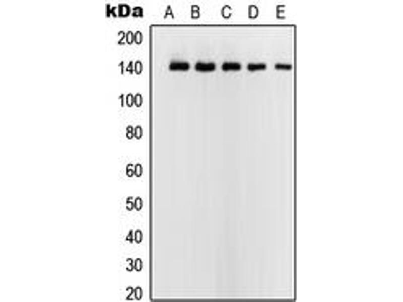 Image no. 2 for anti-Upstream Transcription Factor 2, C-Fos Interacting (USF2) (Center) antibody (ABIN2707231)
