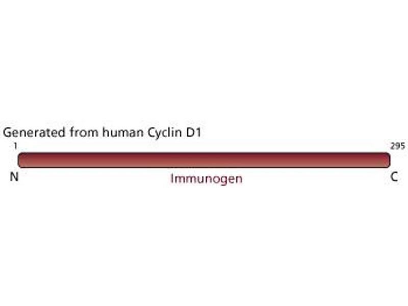 image for anti-Cyclin D1 antibody (CCND1) (full length) (ABIN967430)