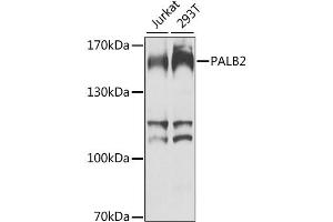 Image no. 1 for anti-Partner and Localizer of BRCA2 (PALB2) antibody (ABIN6571709)