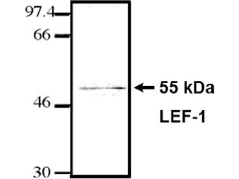 Western Blotting (WB) image for anti-LEF1 antibody (Lymphoid Enhancer-Binding Factor 1) (HMG Binding Domain) (ABIN264381)