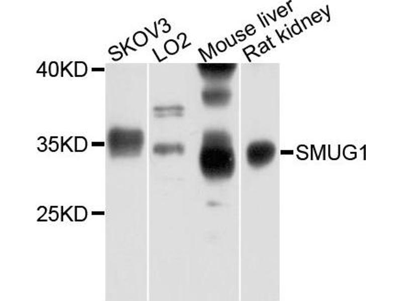 Image no. 1 for anti-Single-Strand-Selective Monofunctional Uracil-DNA Glycosylase 1 (SMUG1) antibody (ABIN4905242)