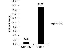 Image no. 5 for anti-Far Upstream Element (FUSE) Binding Protein 1 (FUBP1) (Center) antibody (ABIN2855856)