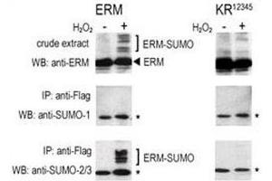 Image no. 1 for anti-SMT3 Suppressor of Mif Two 3 Homolog 1 (S. Cerevisiae) (SUMO1) (AA 55-86) antibody (ABIN3032769)