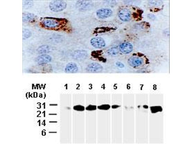 image for anti-BCL2-Like 1 (BCL2L1) (AA 46-66) antibody (ABIN957162)
