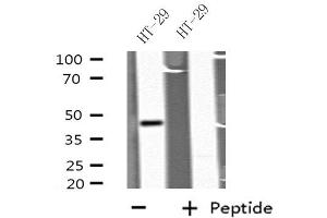 Image no. 1 for anti-Growth Differentiation Factor 7 (GDF7) antibody (ABIN6256961)