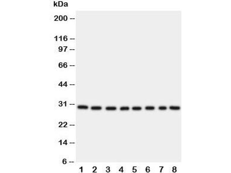 Western Blotting (WB) image for anti-Transcription Factor A, Mitochondrial (TFAM) (C-Term) antibody (ABIN3029197)