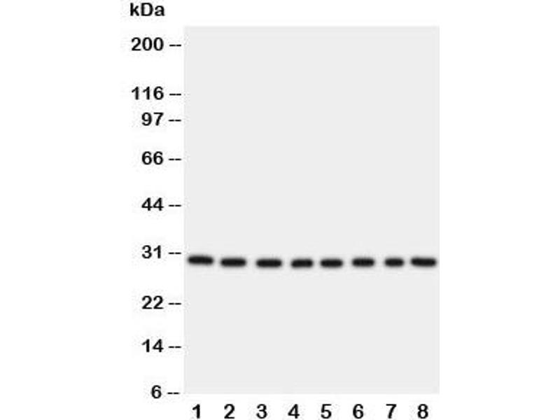 Western Blotting (WB) image for anti-Transcription Factor A, Mitochondrial (TFAM) (C-Term) antibody (ABIN3029197)