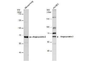 Image no. 2 for anti-Angiopoietin 2 (ANGPT2) (Center) antibody (ABIN2854896)