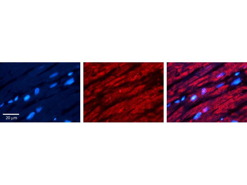 Immunohistochemistry (IHC) image for anti-Cryptochrome 2 (Photolyase-Like) (CRY2) (N-Term) antibody (ABIN2784909)